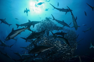 ~ Shark Ball ~  There are bait balls and then there are... by Geo Cloete