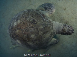 A big Green Turtle in a little different perspective! by Martin Gombrii