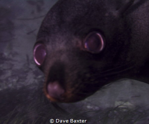 Sealion by Dave Baxter