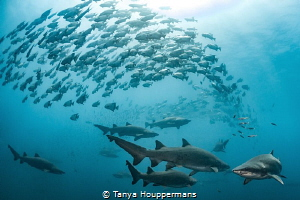 Nature's Choreography Spade fish swirl around a group of... by Tanya Houppermans