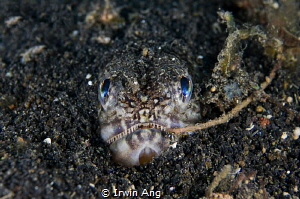 H E H E Lizardfishes (Synodontidae) Lembeh Strait, Indo... by Irwin Ang