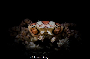 B O X E R Boxer crabs, boxing crabs and pom-pom crabs (L... by Irwin Ang