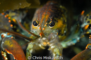 Lobsta Eyes by Chris Miskavitch