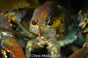 Lobsta Eyes by Chris Miskavitch