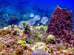 School of butterfly fish by Dave Difiore