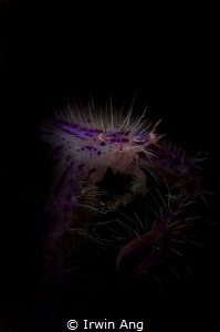 S P I K Y - S T Y L E Pink hairy squat lobster (Lauriea ... by Irwin Ang