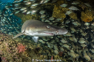 'Turning The Corner' A sand tiger shark on the wreck of ... by Tanya Houppermans