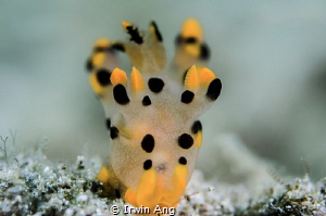 P I K A C H U  Nudibranch (Thecacera sp.2)  Lembeh Stra... by Irwin Ang