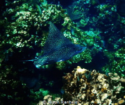 Giant Eagle Ray, Roatan Honduras by Alison Ranheim