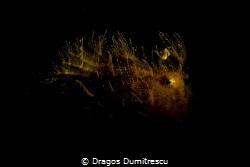 Hairy Froggie, Canon G12, Inon S2000 by Dragos Dumitrescu