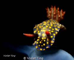it is a common nudi but i shot it with the snoot to show ... by Violet Ting
