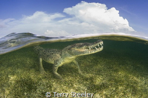 American crocodile split