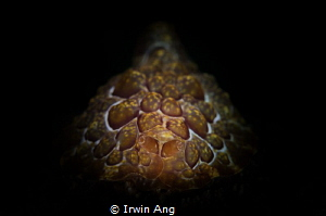 S P O T Seaslug (Pleurobranchus forskalii) Lembeh Strai... by Irwin Ang