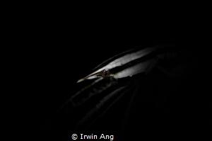 N I N J A Crinoid squat lobster (Allogalathea elegans) ... by Irwin Ang
