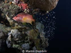 The Glassfish made sure to stay behind the Snapper by Martin Gombrii