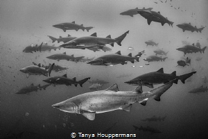 Shadow Sharks There were so many sand tiger sharks aroun... by Tanya Houppermans