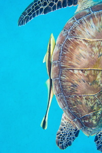 Hitch hiker: green turtle & remora.  Not a true macro sub... by Paul Colley