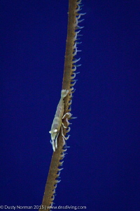 """""""High Wire"""" Wire Coral Shrimp by Dusty Norman"""