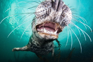 Inquisitive Grey Seal, UK Farne Islands by Spencer Burrows