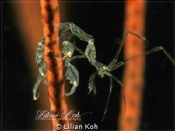 G Y M N A S T Skeleton Shrimp by Lilian Koh
