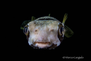 Porcospino fish by Marco Gargiulo
