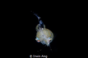 Y U M M Y Pygmy squid (Idiosepius paradoxus) Padangbai ... by Irwin Ang