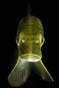 Juvenile Pike portrait. UK by Spencer Burrows