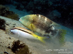 Abudjubbe wrasse feeding on scraps from a goatfish's exca... by Laura Dinraths
