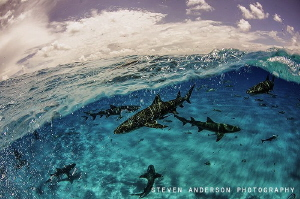 Catching a wave with Lemon Sharks at Tiger Beach Bahamas by Steven Anderson