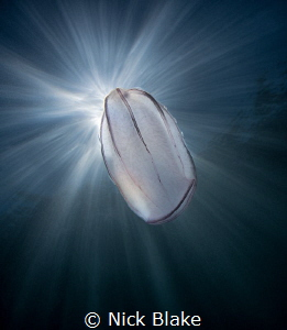 Comb jelly and sunburst, Lundy Island, UK by Nick Blake