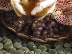 Babies - Porcelain crab by Hon Ping