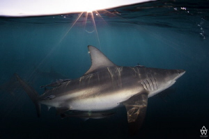 A black tip slowly cruises past with the late afternoon s... by Allen Walker