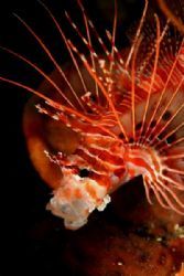 This lionfish was having an afternoon yawn ! by Danielle Caceres-Bricheno