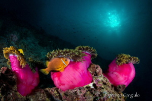 Clownfish & anemone by Marco Gargiulo