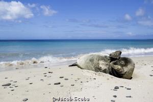 Need pair of sunglasses.. Hawaiian monk seal by Jacob Scuba