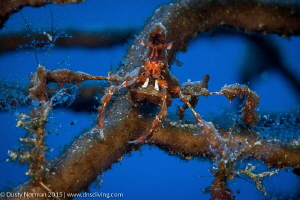 """""""Blending"""" Up close with a Neck Crab. by Dusty Norman"""