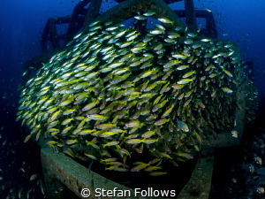 System Migration ... ! Big Eye Snapper - Lutjanus lutjanu... by Stefan Follows