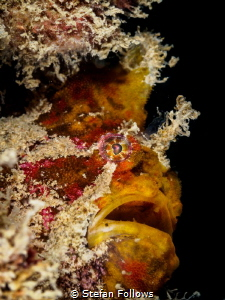 Wine Flu ... ! Frogfish - Antennarius sp. Chaloklum, Thai... by Stefan Follows