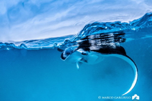 Manta Ray @ Hanifary Bay by Marco Gargiulo