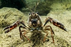 crayfish (Hérault river, France) by Mathieu Foulquié