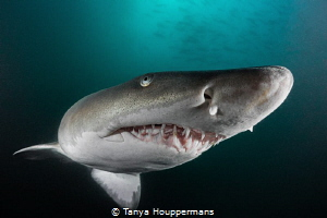 Shimmering Sand Tiger The skin of a sand tiger shark has... by Tanya Houppermans