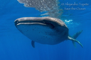 Whale Shark encounter, Isla Contoy Mexico by Alejandro Topete