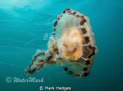 Compass Jelly at Porthkerris by Mark Hedges