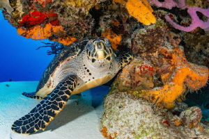 Turtle under a colourful overhang - Cozumel Mexico by Spencer Burrows