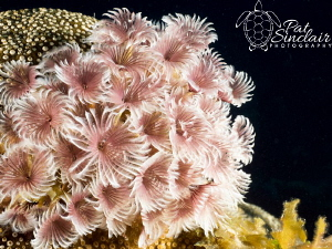 Love the bouquet of social feather duster worms...the col... by Patricia Sinclair