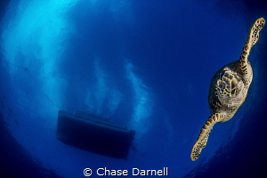 """""""Dive Bomb"""" We watched this Turtle surface, then headed ... by Chase Darnell"""