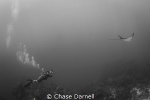 """""""The Pace"""" A diver keeps pace with an Eagle Ray to grap ... by Chase Darnell"""