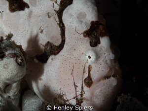 Blushing Frogfish - This white frogfish appears to blush ... by Henley Spiers
