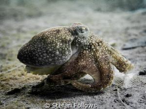 Sneaky ... ! Coconut Octopus - Amphioctopus marginatus. C... by Stefan Follows