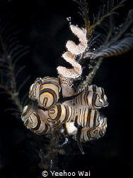Donut nudibranchs (Doto greenamyeri) with eggs Tulamben,... by Yeehoo Wai